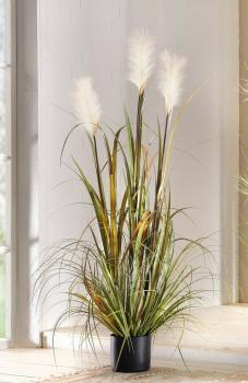 Topfpflanze Schilf